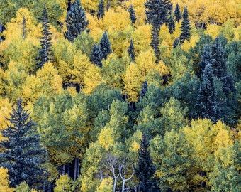 Aspen Trees Aspens Pine Trees Blue Spruce Colorado Trees Rustic Cabin Lodge Photograph