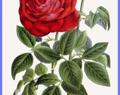 antique victorian french botanical print red roses ile bourbon illustration digital download