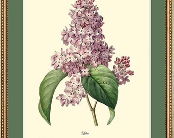 LILAC - Botanical print reproduction - Redoute 1027