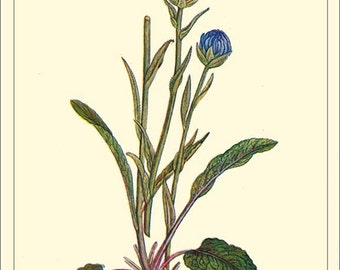 ART CARD Round-headed Rampion  - Botanical print reproduction 3-58