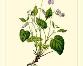Botanical instant digital download file 1901 Lindman - DOG VIOLET