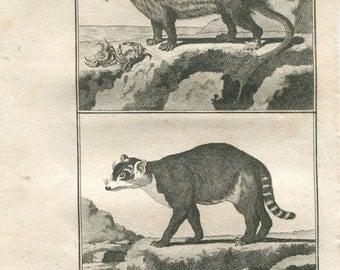 1802  Original Antique Engraving Racoon,  Animal Print, Natural History Buffon