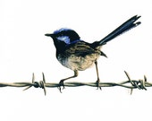 Superb Fairy Wren Square Greeting Card