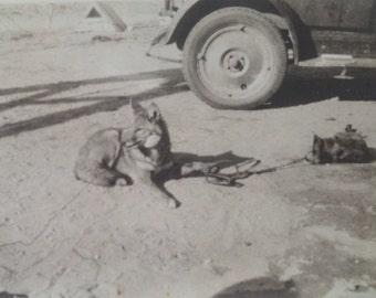 Vintage FOX Photo Trapped Fox