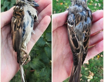 Mummified House Sparrow