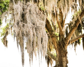 "Live Oak Tree, Low Country Art, Spanish Moss, Photography, Yellow, Southern Decor, Charleston, Beaufort SC, Tree Art - ""Beaufort Spring"""