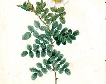 1824 Antique Rose Print Redoute Rose Vintage Rose Print 1st Octavo Edition Rosa Bracteata White Rosier Macartney Vintage Botanical Print