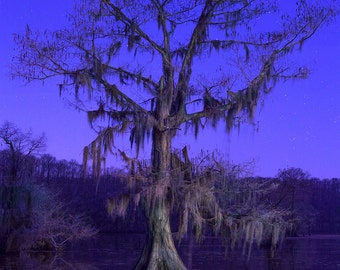 Starry Cypress, night-time photograph, Caddo Lake Texas Bald Cypress with Spanish Moss, Stars