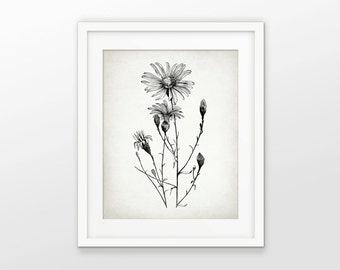Ox-Eye Daisy Print - Daisy Illustration - Daisy Plant - Flower Wall Art Print - Botanical Print - Single Print #1559 - INSTANT DOWNLOAD