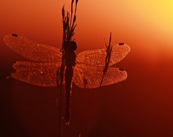 Sillhouette of a Dragonfly