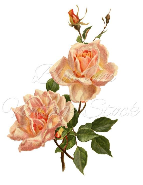 Vintage Rose Clipart PNG Pink Rose Image Shabby Chic Rose