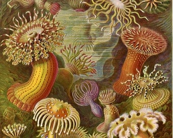 Fine Art Reproduction. Art Forms in Nature: Ernst Haeckel. Actiniae, 1899. Fine Art Print.
