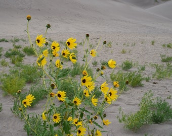 Sunflower Sand Dunes