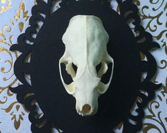 Mink Skull Shadow Box