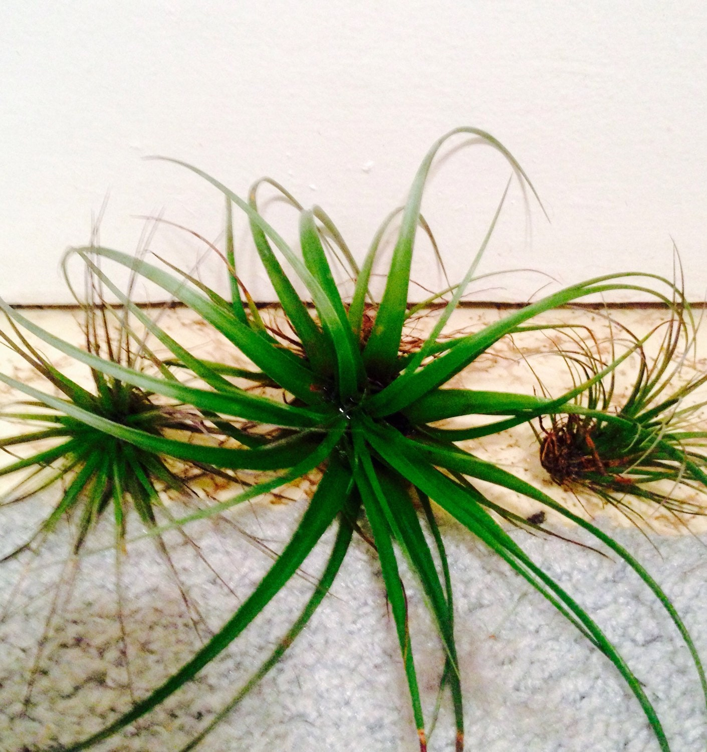 Air Plants For Sale 20 Wedding Air Plant By Callalilysbridal