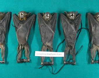 Taxidermy hanging bat Lesser short nosed fruit bat lots 5 pcs