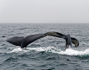 Double Humpback Whale Flukes, Owl the Mother and her Daughter, Gulf of Maine