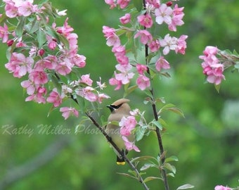 Wax Wing in a Crab Apple Tree