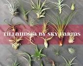 10 assorted Tillandsia air plants - FREE SHIP treasury wholesale bulk lot collection