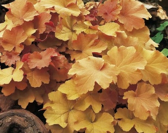 3 HEUCHERA 'Caramel' - Coral Bells or Alumroot - 3 Live Perennial Plants by Hope Springs Nursery