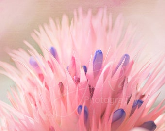 Flower, Photography, Print, Affordable, Under 10 Dollars, 8x10, Bromeliad, Pink, Macro, Soft, Floral