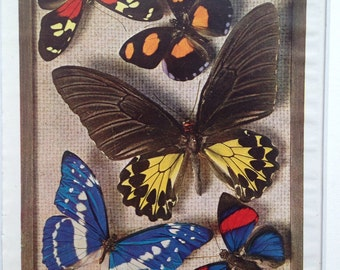 1940s Vintage Butterfly Photo Print - 'Exquisite Gems of the Insect World' - matted and ready to frame - 14 x 11 inches - Entomology
