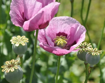 Afghani Blue Papaver Somniferum Poppy (2500 thru 3 LB seeds) giganteum #261