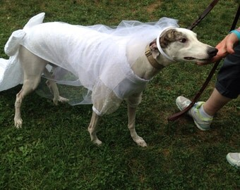Greyhound Wedding attire: wedding gown (shown) tuxcedos, matching brides maids outfits what ever you need it is all custom to your hound