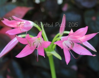 Botanical Photography: Cape Lily- nature photography, floral, flower, garden, lily, pink
