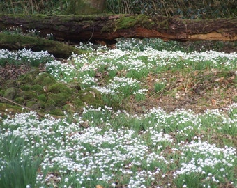 Snowdrops, Wildflowers, Natural Photography, Flora and Fauna, Wildflowers