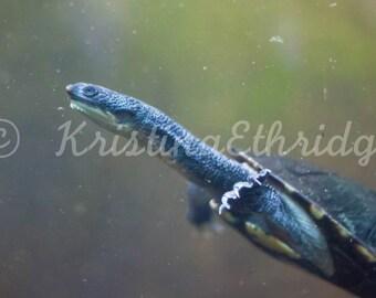 Snake Head Turtle (IMG8934Turtle)