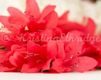 Azalea Pink Photograph (Azaleas3)