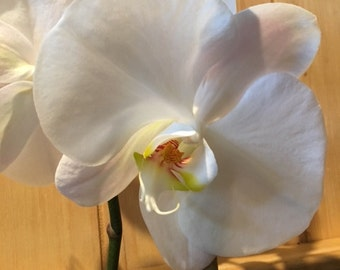 """Orchid (Phalenopsis) 5.5""""-6.5"""""""