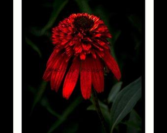 TIKI TORCH,echinacea,coneflower,flower,plant,petals,leaves,outdoors,nature,botany,orange,black,green,decor,textures,garden,english,bees,bird