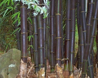 Bambusa lako - timor black bamboo - 15 seeds