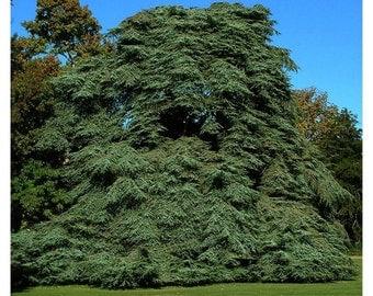 5 à 25 seeds of Cedrus atlantica, Atlas Cedar, White Cedar, Lebanon Cedar, Blue Cedar, therapeutic and medicinal