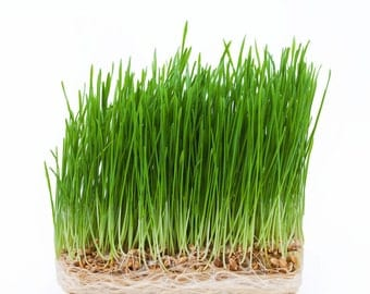 Organic Wheat Grass Wheat Berries Grains for Juicing And Plants