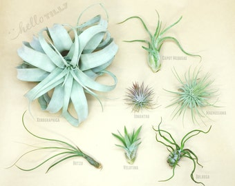 Starter Pack // Air Plants // Hello Tilly Airplants