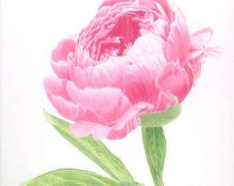 Peony Print (from an original drawing)
