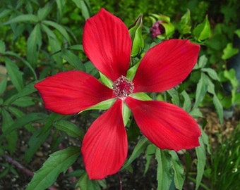 RED TEXAS STAR Hibiscus Plants (Not Seeds)