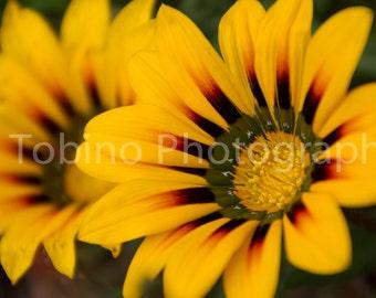 Yellow Coastal Gazania flower photography print or canvas