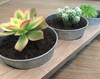 Trio of Succulents (1)