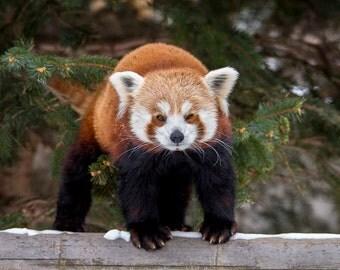 Red Panda, standing