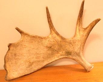 Shed Moose Antler