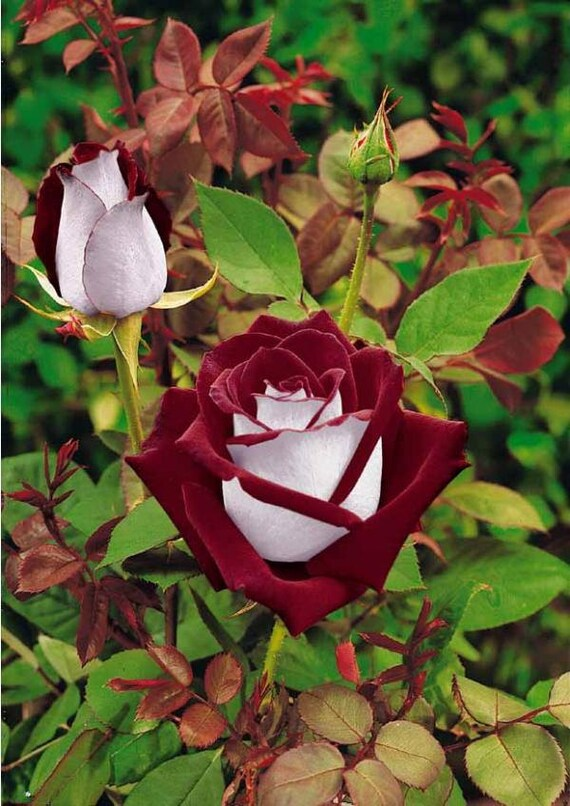 30 osiria rose hybrid rare rose seeds fresh exotic blood red. Black Bedroom Furniture Sets. Home Design Ideas