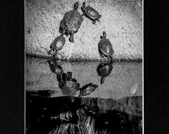 Photo Wildlife  Turtles