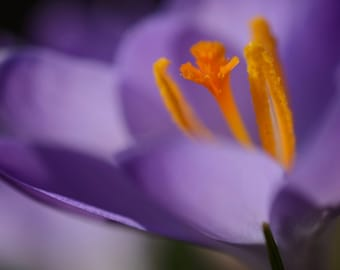 Purple Crocus Macro #2