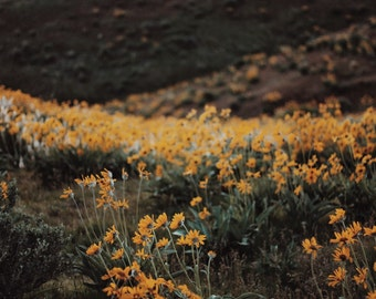 Daises in the foothills
