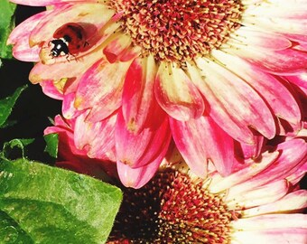 Gerber Daisy, Lady Bug, Nature, Printable Wall Art, Close Up Flower, Flower Photography, Digital Download