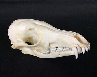 Fox Skull Authentic Red Fox Skull